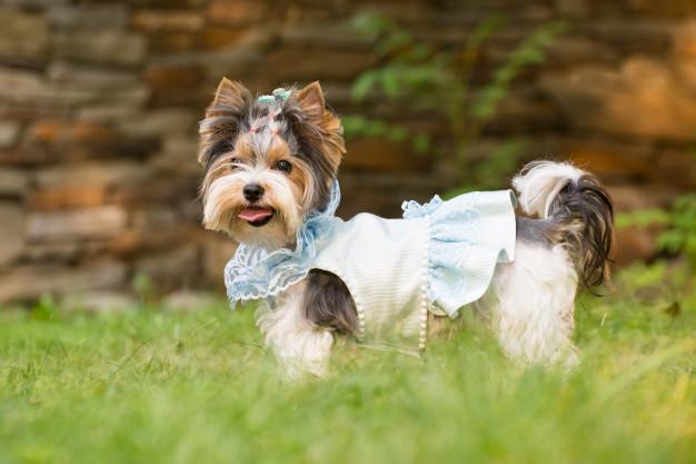 Tosquiar os cães: Sim ou não?